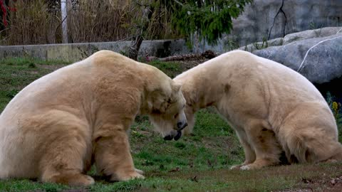 Huge polar bears eat and then take a nap on the grass