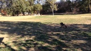 Greyhound Playing at Dog Park