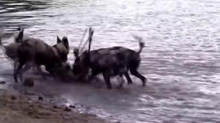 Epic Battle Of Wild dogs vs Animals