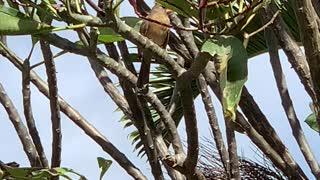 # Back Yard Birds Hawai'i N. Cardinal Female