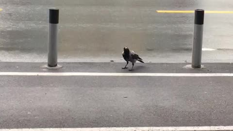 This Incredibly Smart Crow Uses Passing Cars To Crack Walnut