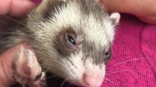 Ferret enjoys a good scratch