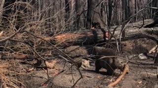 Wombat and Baby Wander Through Burnt Bush
