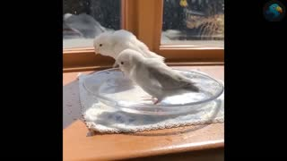 the best parrot video you'll see