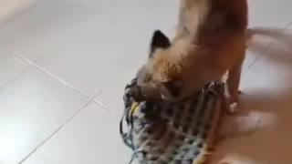 Cute dog plays with a rug