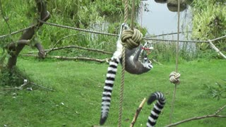 Ring-tailed lemurs at play at Whipsnade Zoo, United Kingdom