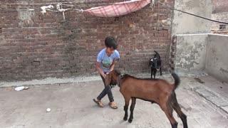 goats kids playing