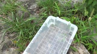 I gasagasa aquatic insects. Water Mantis river Crab Green Yago