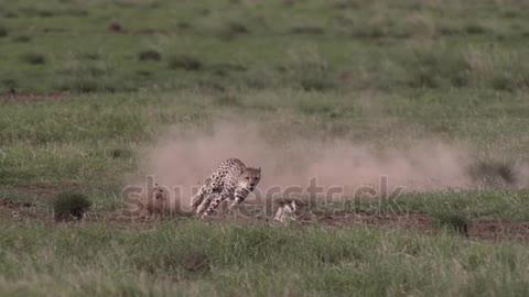 Cheetah chasin a Rabbit