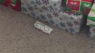 Pomeranian Opens Present Before Christmas