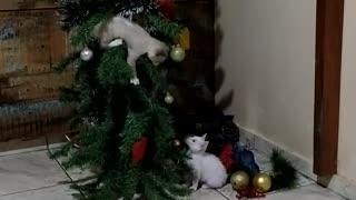 Cats Turn Christmas Tree Into Playground
