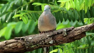 Beautiful Dove in the woods - With great music