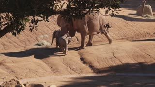 Elephant Knocks Baby Elephant Over