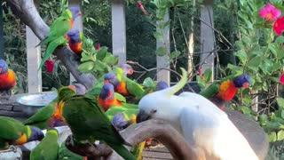 Cheeky Cockatoo Flings Lorikeets Away From Food Bowl