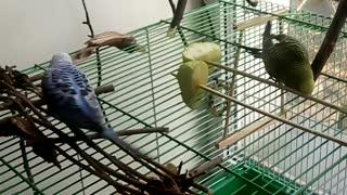 parrots eat apple
