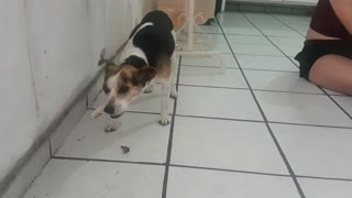 Female Dog Eat Chicken In Family Party