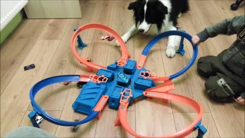Border Collie is crazy about toy car track!