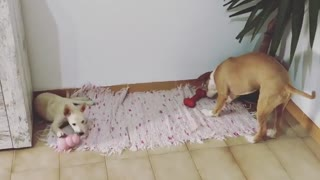2 Dogs Playing With Thier Balls Toy