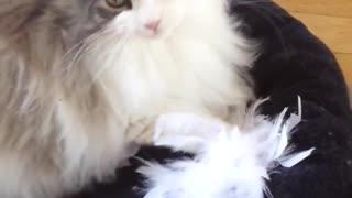 Cat attacks feather boa
