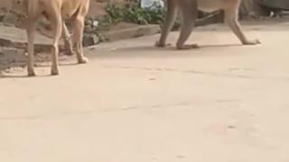 Monkey saving .....from dog