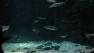 Stingrays at Ripley's Aquarium South Carolina
