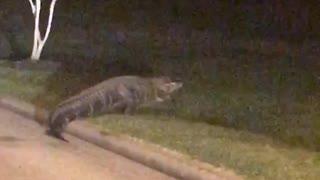 Alligator Walks Through Texas Neighborhood