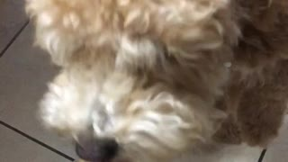 Puppy tries to eat peanut butter
