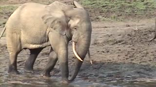Forest Elephant 🐘 Musth Rumble🧐