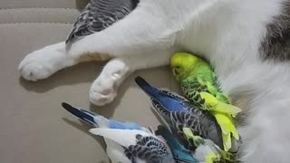 Cat and Parakeets Nap Together