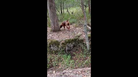 Dog Plays at being a Hunter while His Real Job is Watching Out for His Old Lady