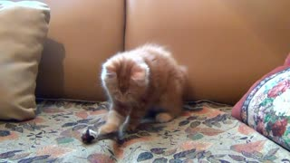 Funniest cat playing