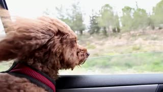 Cute dog watching through a car window