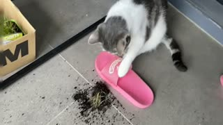 A Cat making mess with catgrass