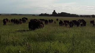 Bison Herd In Alberta, Canada