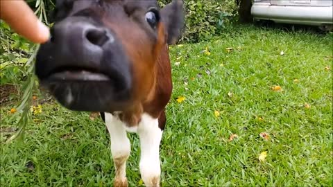 Cows Go Moo Baby Edition CUTEST Compilation