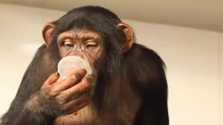 Monkey prepares his lunch