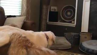 Dog Gives Playmate a Piggy Back Ride
