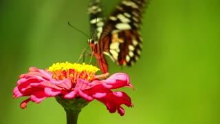 Beautiful butterfly loves flowers