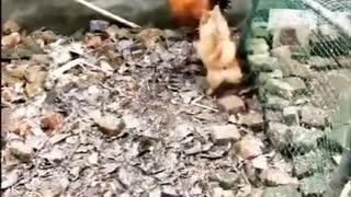 Chicken v/s dog fight