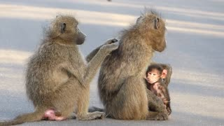 Wobbly baby baboon