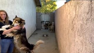 Husky Wolf Hybrids Love Hugs