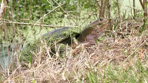 Softshell Turtle in Florida wetlands