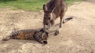 Funny cat playing with Kangaroo
