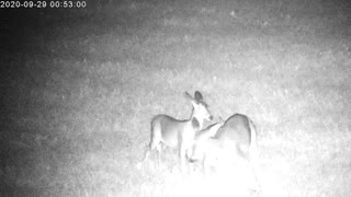 Mama Deer Feeding Her Twin Fawns