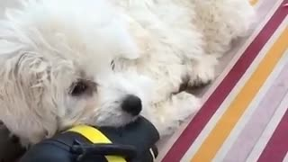 White dog playing with black and yellow toy