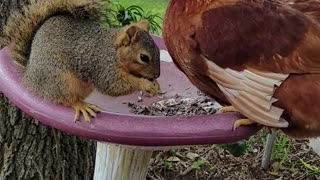 Chicken and Squirrel Quarrel Over Seeds