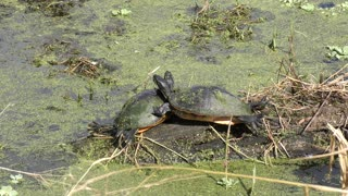 Cute turtles sunning