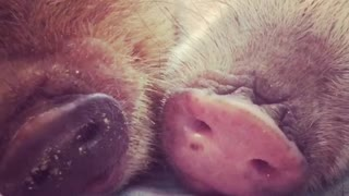 Piggy siblings preciously cuddle and nap together
