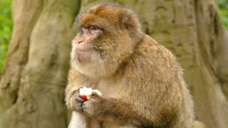 Monkey eating a apple