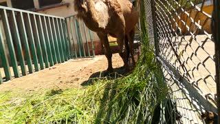 African Pregnant Camel Becomes Demanding Fresh Grass